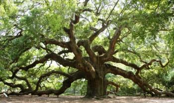 Southern Live Oak.